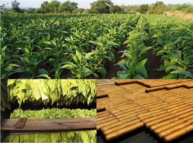 Disagro y AGQ Labs colaboran con tabacaleras de Honduras y Nicaragua