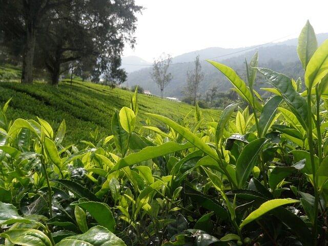 AGQ Labs adjudicataria de análisis de té en Honduras